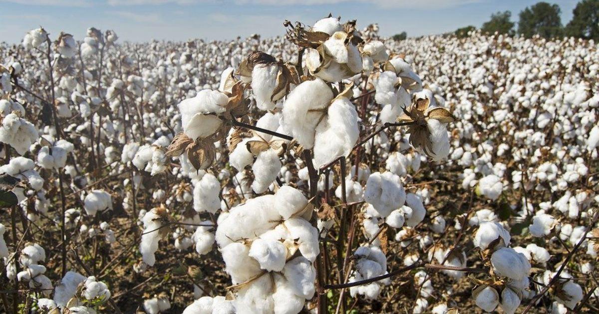 Čína spor o bavlnu