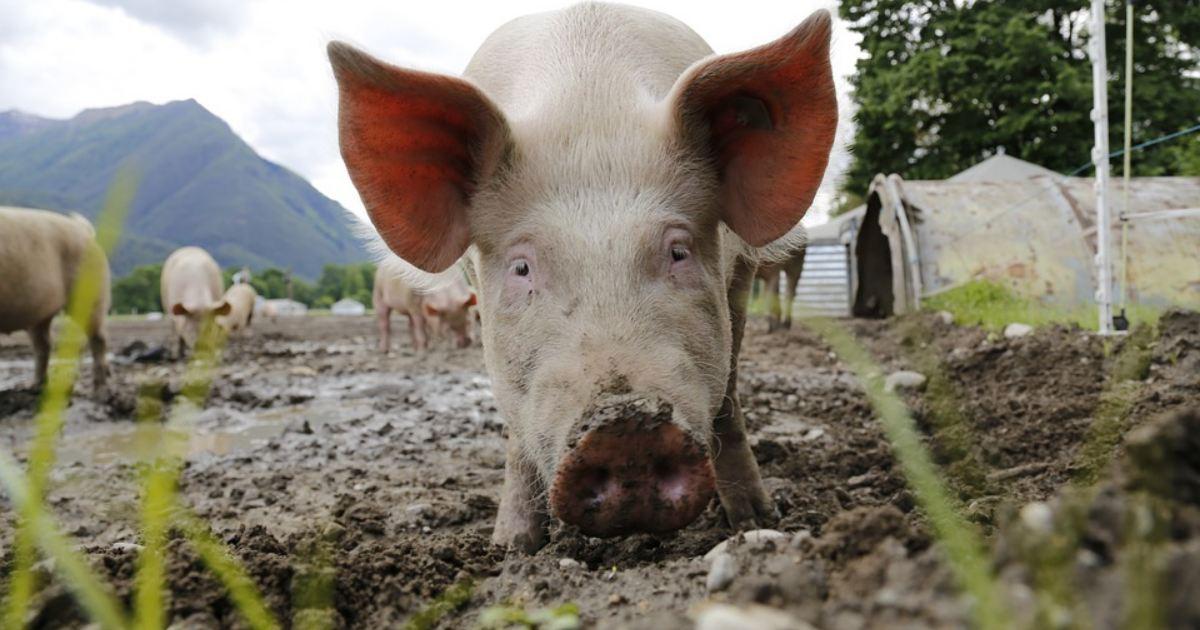 Zdražovanie mäsa a mäsových výrobkov